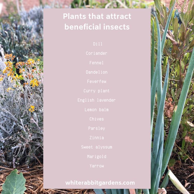 Achillea millefolium — Common yarrow-4