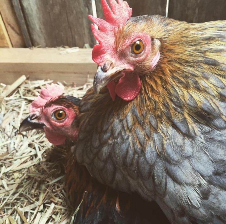 organic happy chickens
